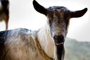 Alpine goats make high quality goat milk