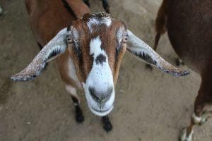 Nubian goats produce high-guality, high-fat milk